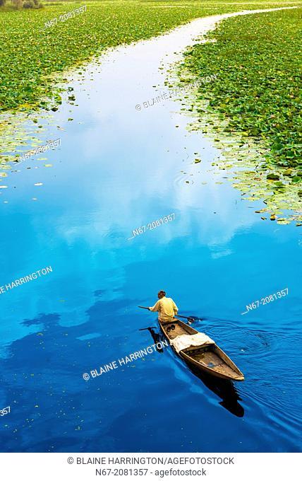 Paddling through floating gardens (rad) with lotus flowers, Dal Lake, Srinagar, Kashmir, Jammu and Kashmir State, India