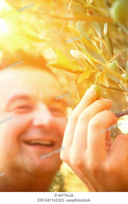 Farmer is harvesting and picking olives on olive farm. Gardener in Olive garden harvest