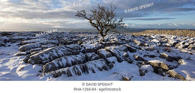 Hawthorn tree and Limestone pavement in winter snow at sunrise, Twisleton Scar, Ingleton, Yorkshire Dales, North Yorkshire, Yorkshire, England, United Kingdom