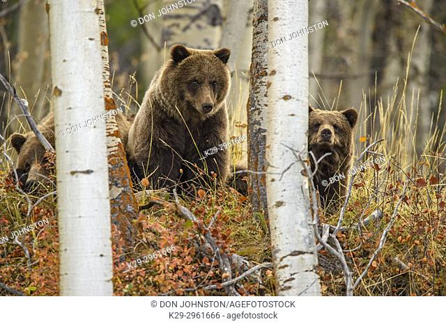 Grizzly bear (Ursus arctos)- Family of mother and cubs resting in the woods above the Chilko River, Chilcotin Wilderness, BC Interior, Canada