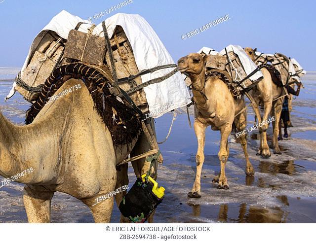 Ethiopia, Afar Region, Dallol, camel caravans carrying salt blocks in the danakil depression