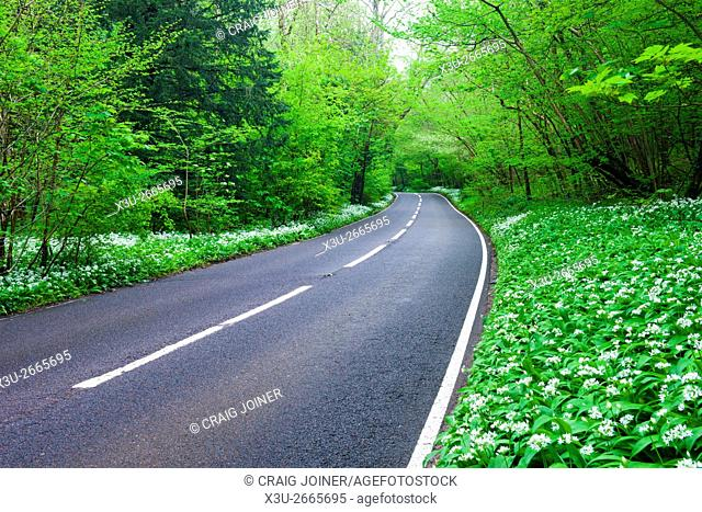 Road lined with Ramsons though a deciduous woodland. Brockley Combe, North Somerset, England