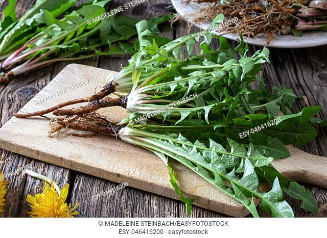 Dandelion plants with roots on a table