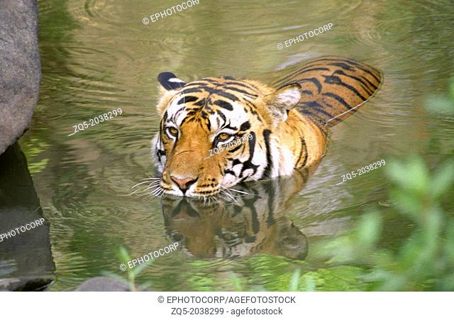 Tiger. Kanha Tiger Reserve, Madhya Pradesh, INDIA. Panthera tigris tigris is the most numerous tiger subspecies. Its populations have been estimated under 2500