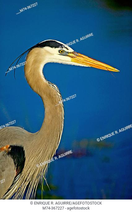 Great Blue Heron (Ardea herodias). Florida. USA