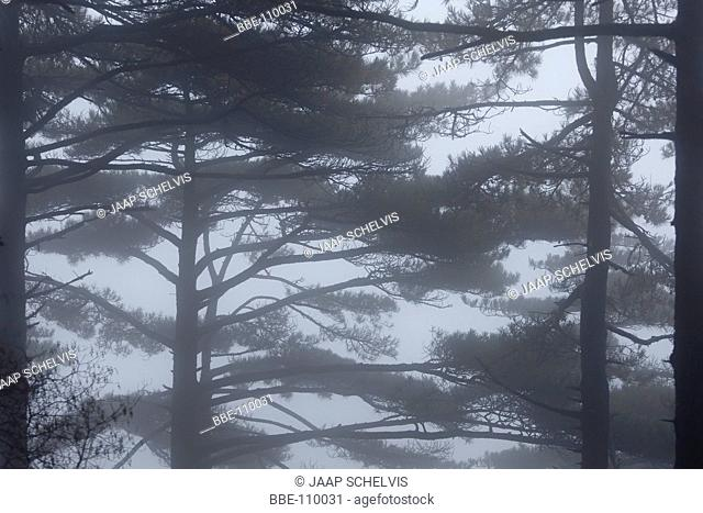 Huangshan Pine Trees in the fog