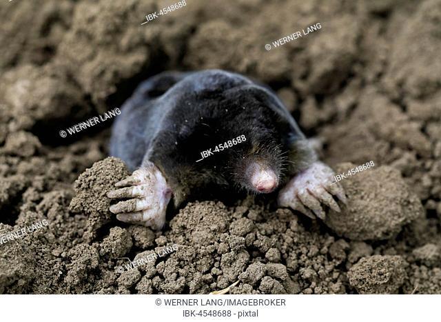 European mole (Talpa europaea), Austria