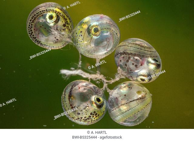 Sarasins Minnow (Oryzias sarasinorum), eggs with larva short before hatching
