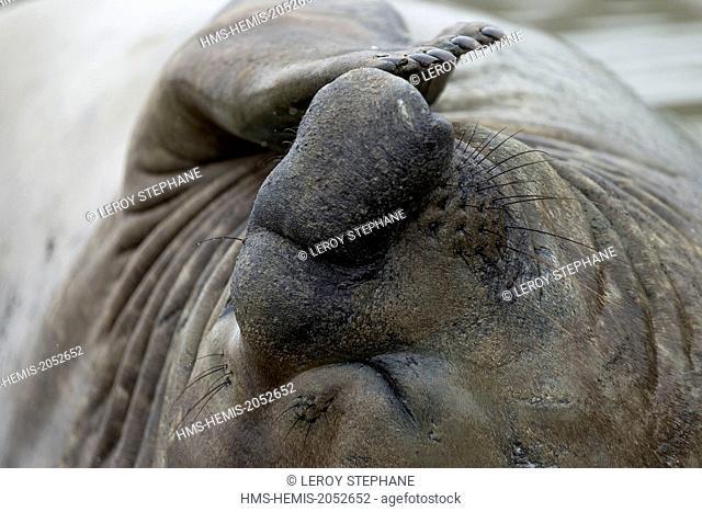 South Atlantic Ocean, South Georgia Island, elephant seal (Mirounga leonina), male