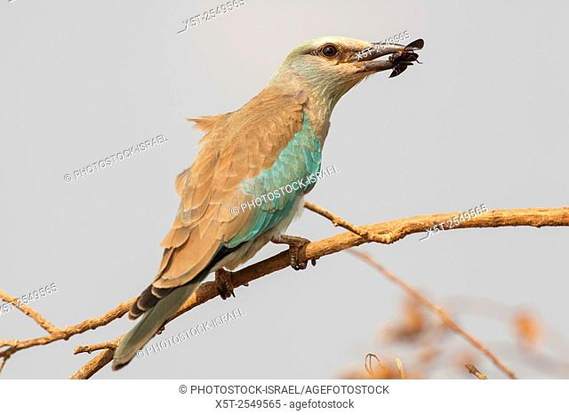 European roller (Coracias garrulus) on a branch. This migrant bird is the only roller bird family member to breed in Europe