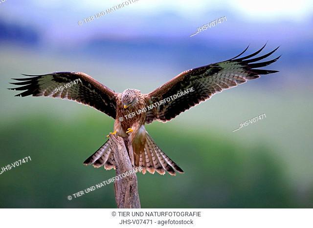 Red Kite, (Milvus milvus), adult flying, Eifel, Germany, Europe