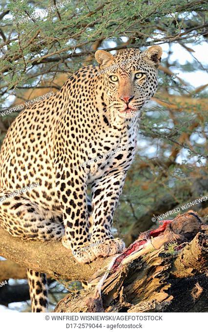 Leopard (Panthera pardus) with a kill in a big acacia tree in the savannah. Serengeti National Park. Tanzania