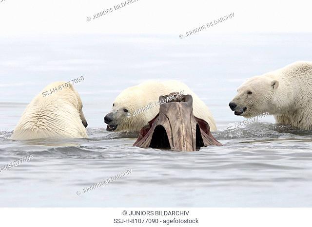 Polar Bear (Ursus maritimus, Thalarctos maritimus). Three individuals in water next to the bones of Bowhead whales hunt by the villagers