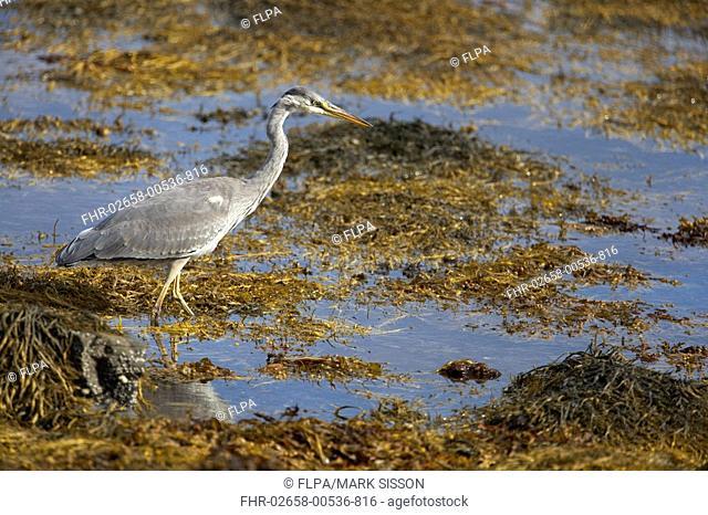 Grey Heron Ardea cinerea juvenile, fishing amongst seaweed at edge of sea loch, Isle of Mull, Inner Hebrides, Scotland