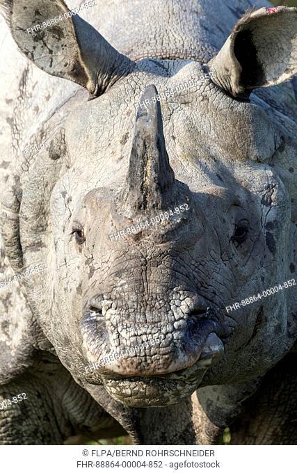 Indian rhinoceros (Rhinoceros unicornis), portrait of an adult, Kaziranga National Park, Assam, India, April
