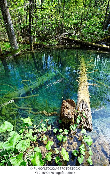 Fallen trees being fossilised in a pond  Plitvice  Plitvicka  Lakes National Park, Croatia  A UNESCO World Heritage Site