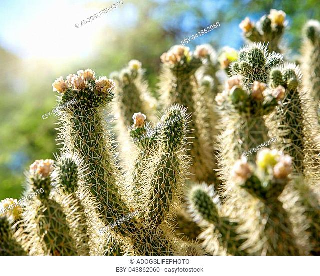 Closeup of cholla cactus with blooming flowers at sunrise with haze and flare