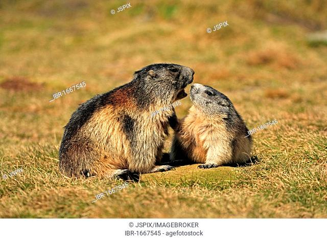 Alpine Marmot (Marmota marmota), half-grown cubs, social behavior, Grossglockner Mountain Range, Hohe Tauern National Park, Austria, Alps, Europe