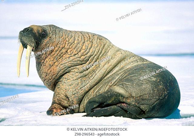 Atlantic walrus (Odobenus rosmarus rosmarus). Arctic and Subarctic waters