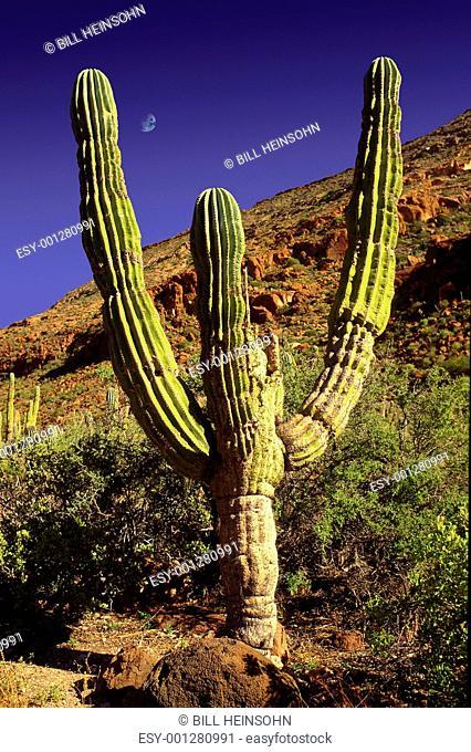 Cerro cactus and boulders on Isla San Francisco Baja Peninsula M