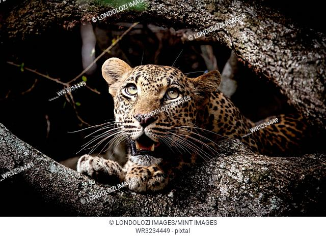 A leopard cub's head, Panthera pardus, between two branches, looking up out of frame, open mouth, green yellow eyes