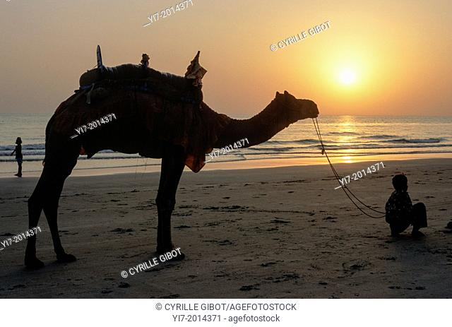Camel on the beach at sunset, Mandvi, Gujarat, India