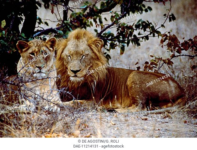 Lions (Panthera leo), Felidae, Motswari and Mbali Reserve, Kruger National Park, Transvaal, South Africa