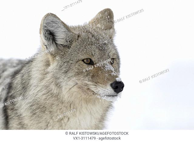 Coyote / Kojote ( Canis latrans ) in winter, close-up of an adult animal in snow, detailled headshot, covered with snowflakes , Yellowstone NP, USA.