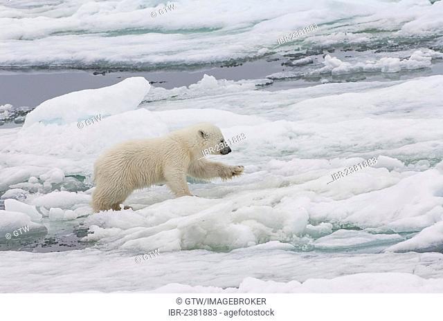 Polar bear cub (Ursus maritimus) running over pack ice, Svalbard Archipelago, Barents Sea, Norway, Arctic