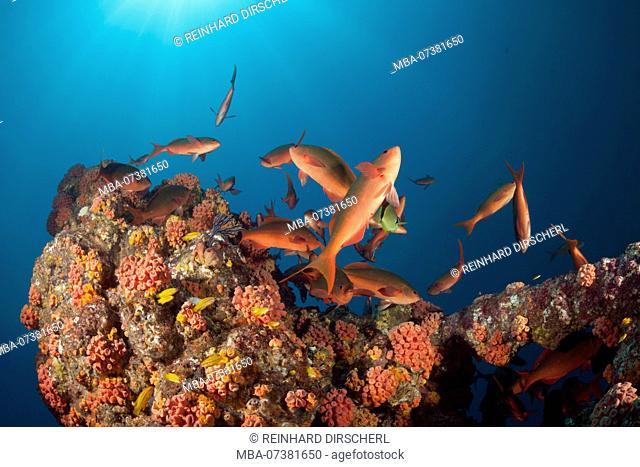 Schooling Pacific Creolefish, Paranthias colonus, La Paz, Baja California Sur, Mexico