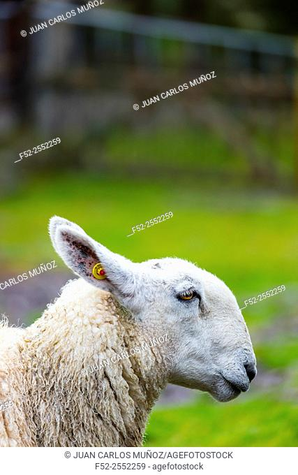 Sheep-dog Trial, Caitins, Kells Area, Ring of Kerry, Iveragh Peninsula, County Kerry, Ireland, Europe