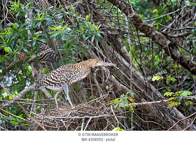 Immature Rufescent Tiger-Herons (Tigrisoma lineatum), perched on nest, Pantanal, Mato Grosso, Brazil