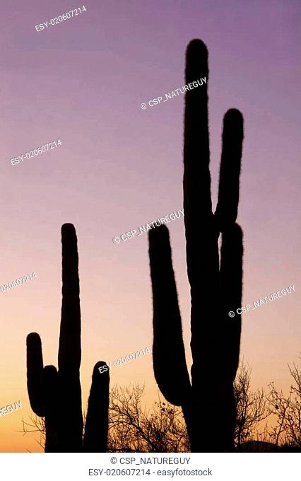 Sunset Saguaro's