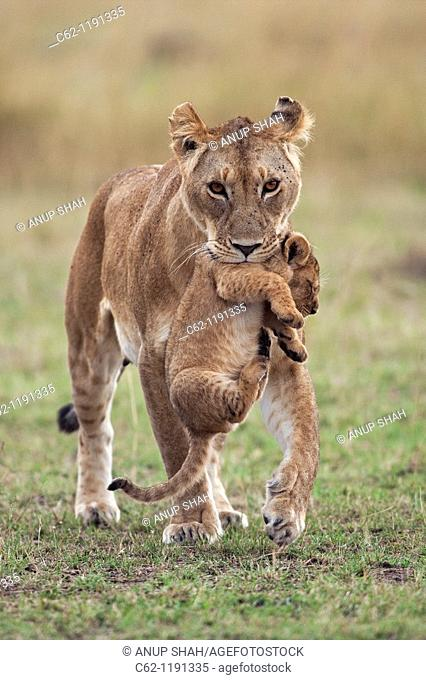 Lioness (Panthera leo) carrying 2-3 month old cub in her mouth while others follow, Maasai Mara National Reserve, Kenya