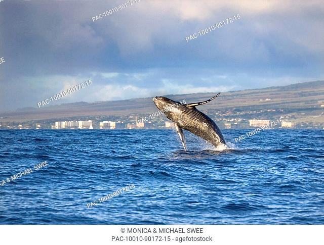 Hawaii, Maui, Kanapali, Humpback whale breaching with island in the background