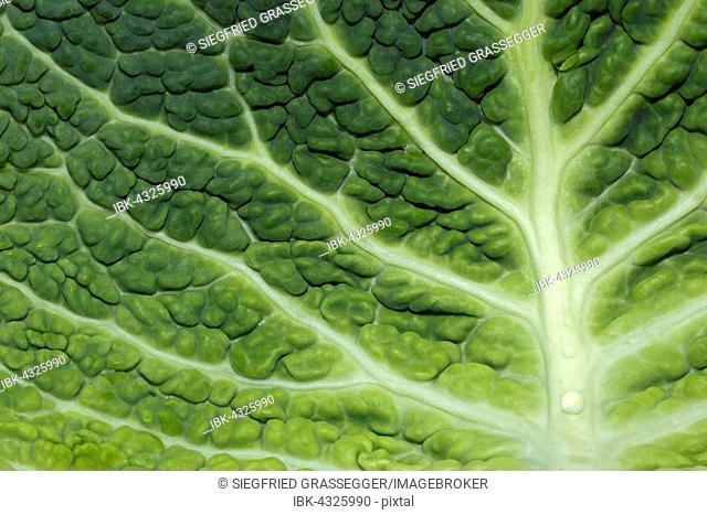 Close up of savoy cabbage leaf (Brassica oleracea)