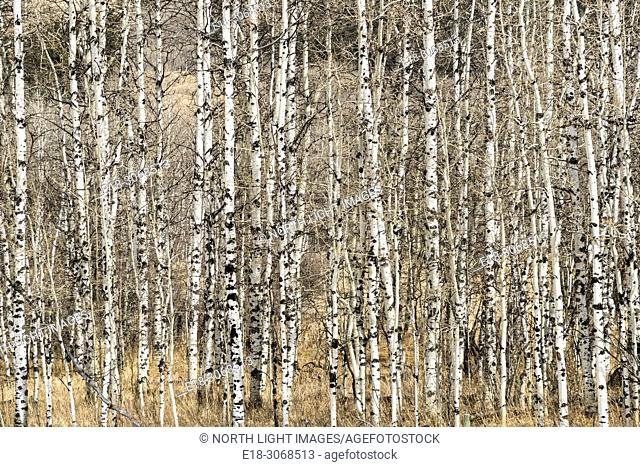 Canada, Alberta, Turner Valley. Leafless aspen forest in early spring