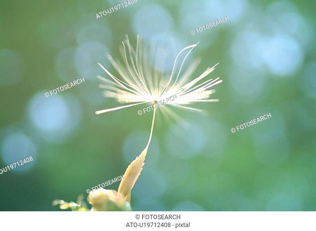 A fluff of a dandelion, close up, differential focus