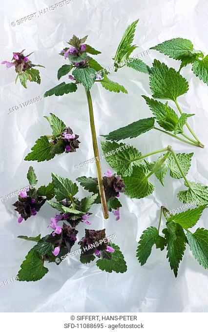 Field deadnettle and white deadnettle lamium album and purpureum