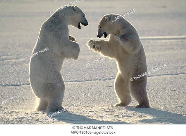 POLAR BEAR (Ursus maritimus) PAIR OF MALES FIGHTING, CHURCHILL, MANITOBA, CANADA