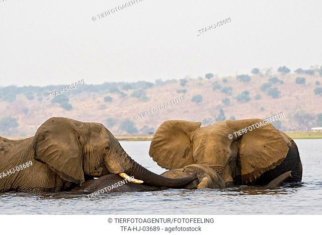 bathing african elephants