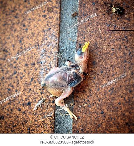 A sparrow dead in a street of Prado del Rey, Sierra de Grazalema, Sierra de Cadiz, Andalusia, Spain