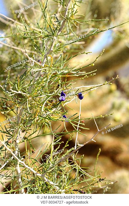 Smoketree (Psorothamnus spinosus or Dalea spinosa) is a tree native to southwestern USA and northwestern Mexico. This photo was taken in Joshua Tree National...