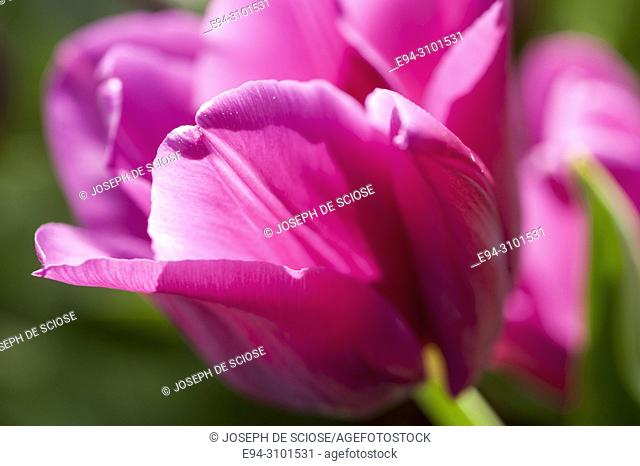 Close-up of a a pink tulip in a garden backlit by the sun