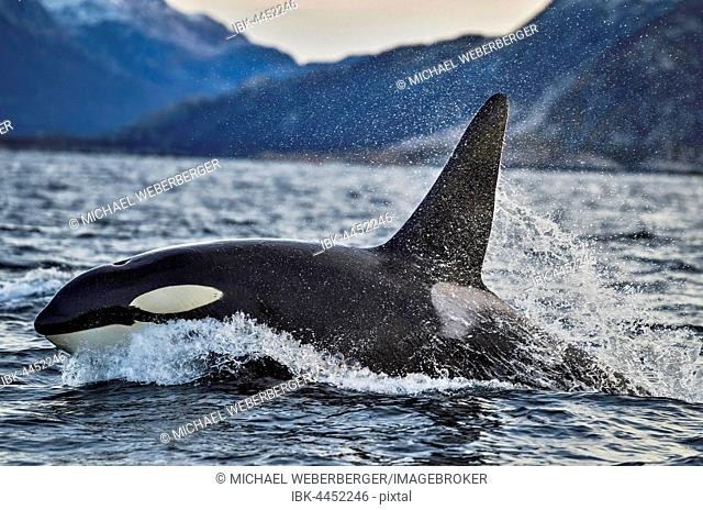 Orca or killer whale (Orcinus orca), Kaldfjorden, Norway