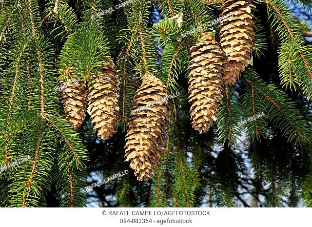 Cones (Picea sp.). Osseja, Languedoc-Roussillon, Pyrenees Orientales, France