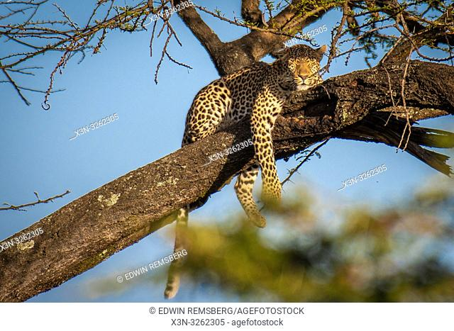 Maasai Mara National Reserve, Kenya, Leopard (Panthera pardus)