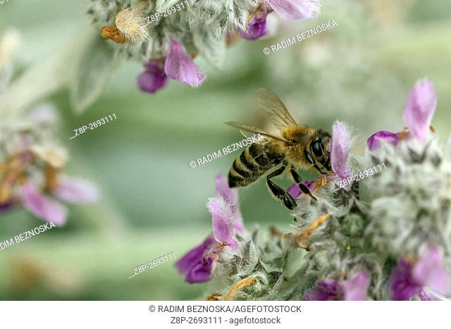 Lambs' ears, Stachys byzantina, bee on flower, Geranium