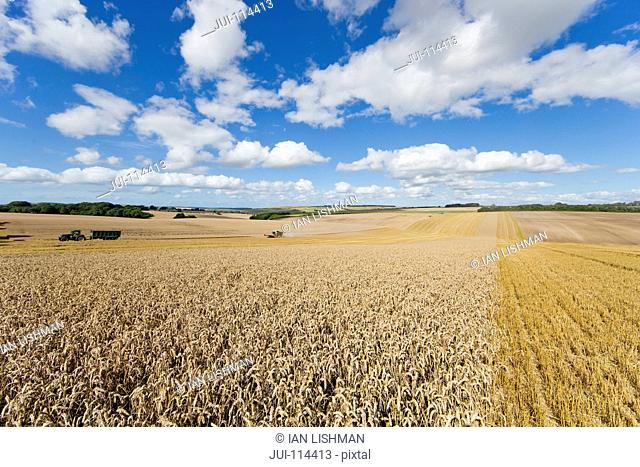 Field Of Wheat During Harvest With Blue Sky