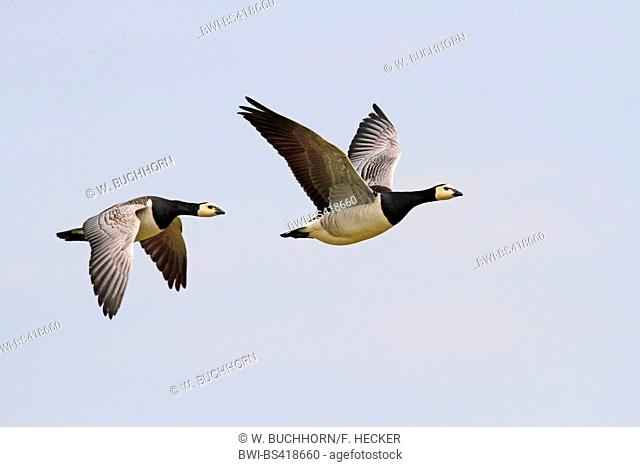 barnacle goose (Branta leucopsis), two in flight, Germany